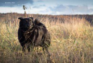 Tierfotografie Kiel - Border Collie Layla