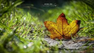 Ahornblatt am Wegesrand-Outdoor-Fotografie