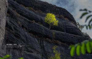 Birke im besonderen Licht - Elbsandsteingebirge